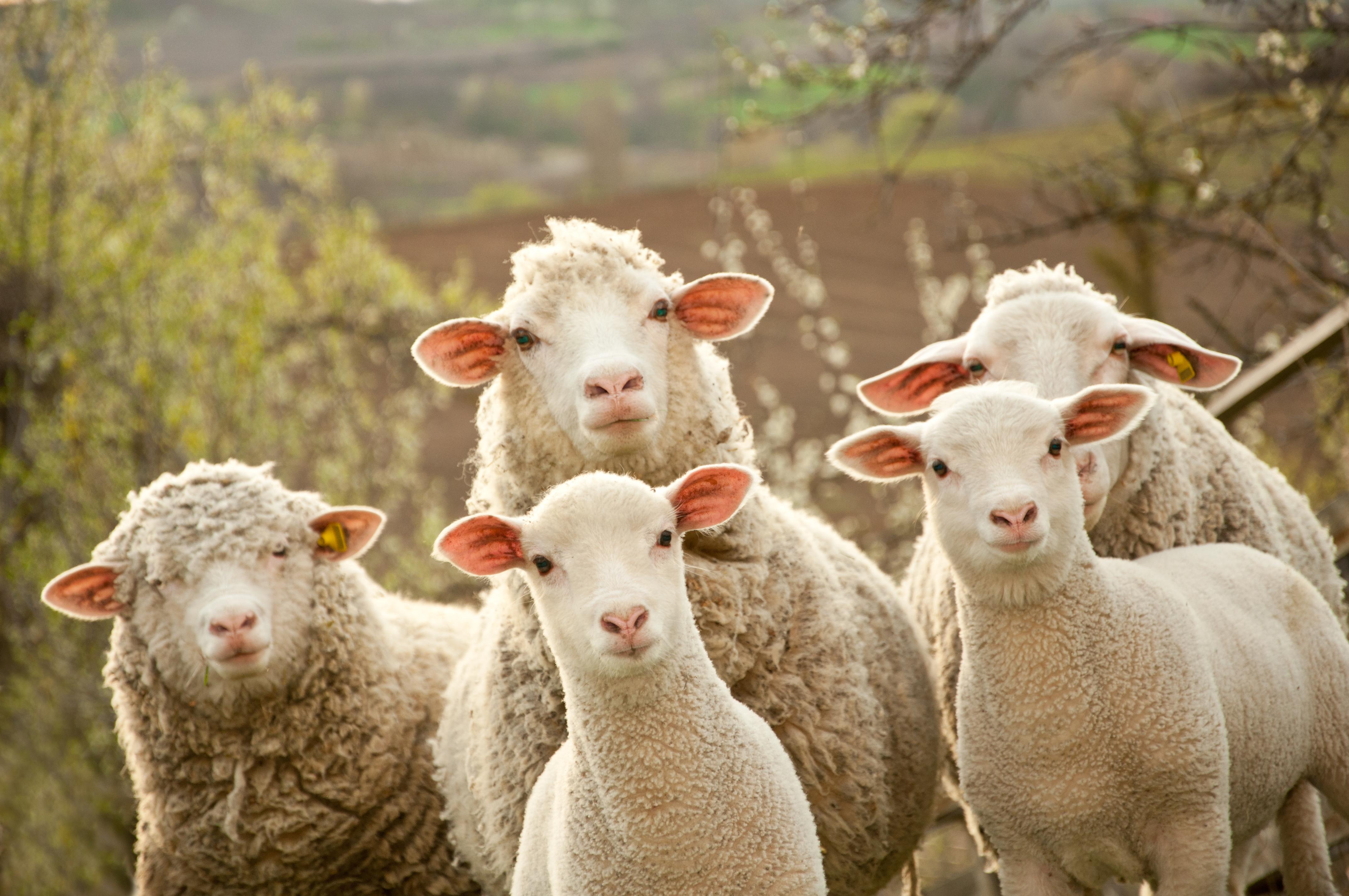 Mulesing - Černý Petr v rukou australských chovatelů ovcí
